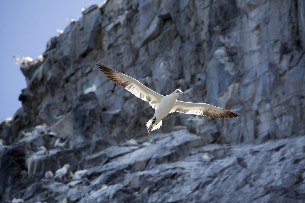 gannet north berwick