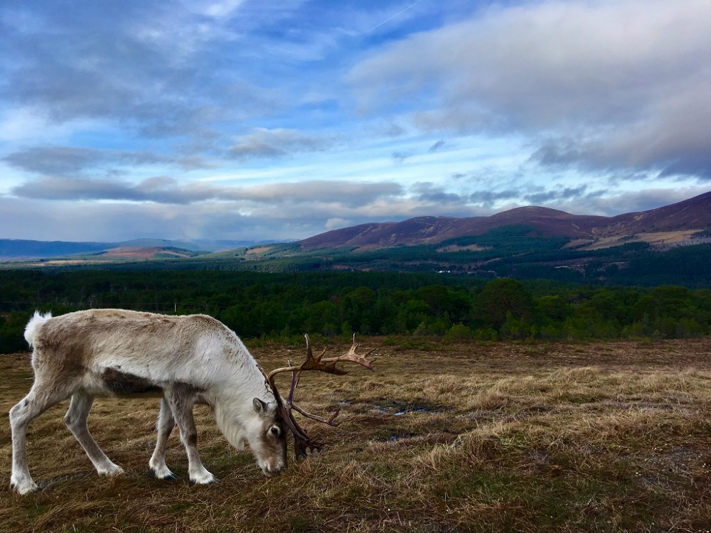Reindeers at Cairngorm National Park, Scotland