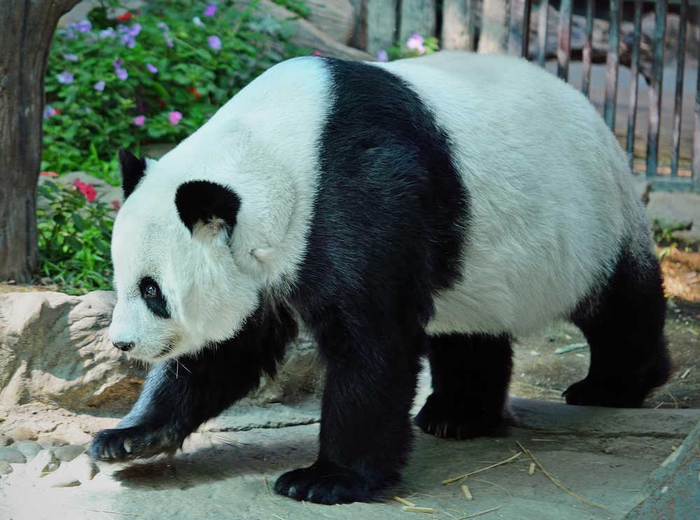 Panda at Edinburgh Zoo, Scotland